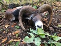 Muffelwidderjagd in Nord-Ost Ungarn
